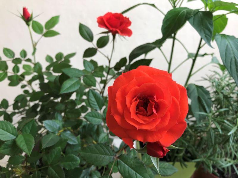 バラの花01